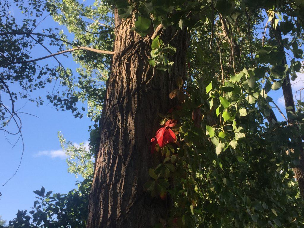 Environnement, arbre, feuille rouge