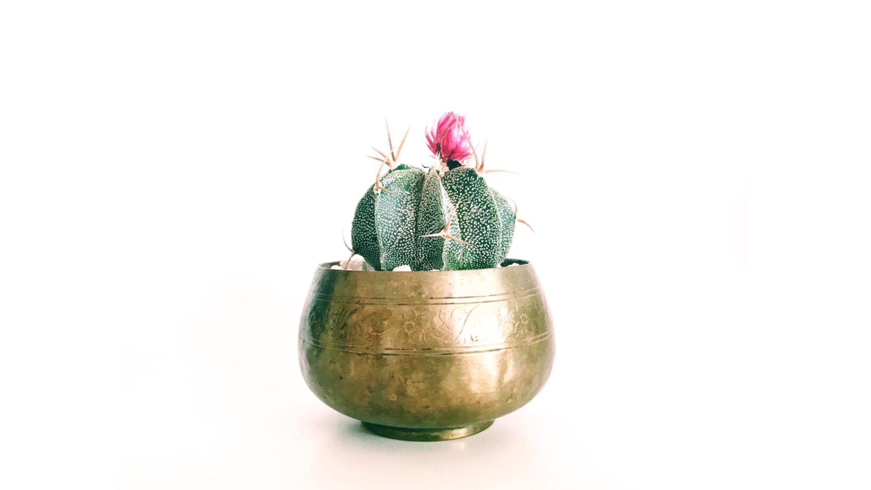 Bol tibétain doré avec une fleur de cactus rose